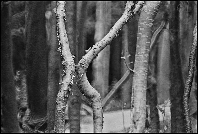 The kissing trees -